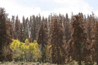 Beetle Kill forest