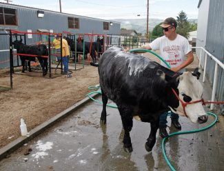 Tim Ritschard washes his cow on Thursday morning at the Middle Park Fair in Kremmling.  The beef show is scheduled for 3 p.m. today.  Byron Hetzler/Sky-Hi News