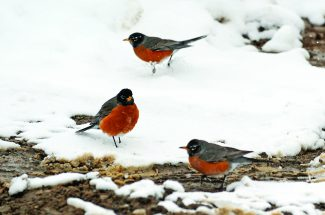 Robins investigate the snowy conditions during last week's snow storm in Granby.   Byron Hetzler/Sky-Hi News