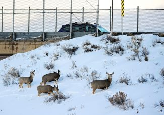 Deer graze just out of sight of passing motorists near the bridge over the railroad tracks on Tuesday morning, Feb. 11, in Granby.