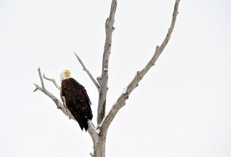 A bald eagle perches in a tree along U.S. 40 east of Parshall on Thursday morning, Feb. 6.
