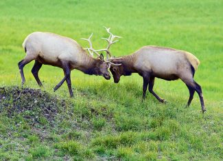 Two bull elk lock antlers near Milner Pass in Rocky Mountain National Park on Sunday evening, Aug. 17.