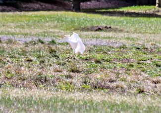 This cattle egret landed in Town Park in Hot Sulphur Springs on Thursday morning, May 8. According to the local birders, it is rare to be sighted in Grand County.