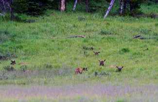 Elk cows and calves rest in the grass of Harbison Meadow on Wednesday evening, July 23, in Rocky Mountain National Park.
