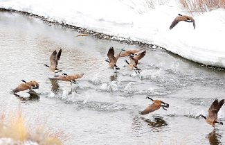 A flock of Canada geese take flight from the Colorado River near Windy Gap Reservoir on Thursday morning, March 27, west of Granby.