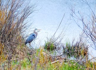 A great blue heron pauses along the banks of the Colorado River north of Granby on Thursday, May 8.
