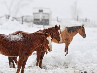 Horses stand in a pasture along U.S. 34 north of Granby as snow falls on Tuesday morning, March 18.  The weather is expected to get sunny and mild again starting today.