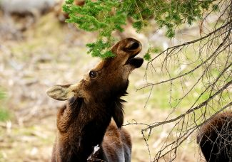 A moose munches on a pine tree on Wednesday, May 21, in Rocky Mountain National Park. Park officials expect to open Trail Ridge Road through the park this afternoon, May 23, as conditions allow.