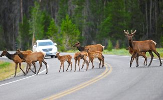 A herd of elk crosses Trail Ridge Road in the Harbison Meadow on Friday evening, July 12, in Rocky Mountain National Park.