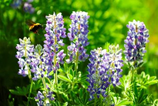 A bee searches for nectar from lupines near Golf Granby Ranch on Sunday morning, June 16, in Granby.  Byron Hetzler/Sky-Hi News