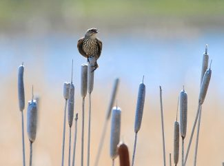 A female red-winged blackbird sings while perching on a cattail along the shore of Shadow Mountain Reservoir on Thursday, May 16.  Byron Hetzler/Sky-Hi News
