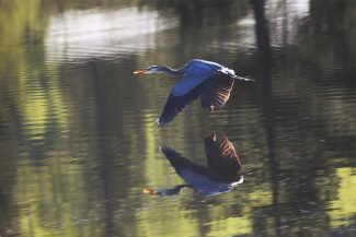 A Blue Heron appears over its reflection as it flies over Mary's Pond in Fraser on Saturday, June 4.