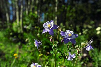 Columbines bloom near the top of Cottonwood Pass between Granby and Hot Sulphur Springs on Friday, June 21.  Byron Hetzler/Sky-Hi News