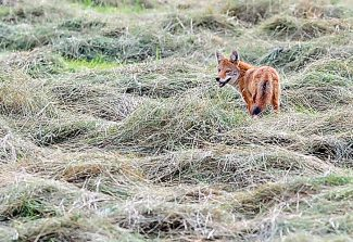A fox searches for prey in a hay field south of Granby last summer.   Byron Hetzler/Sky-Hi News file photo