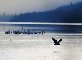 A blue heron takes flight from Shadow Mountain Reservoir in front of a flock of pelicans on Thursday morning, June 13.   Byron Hetzler/Sky-Hi News