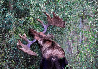 A bull moose snacks on aspen leaves on Monday evening, Sept. 2, in Rocky Mountain National Park.