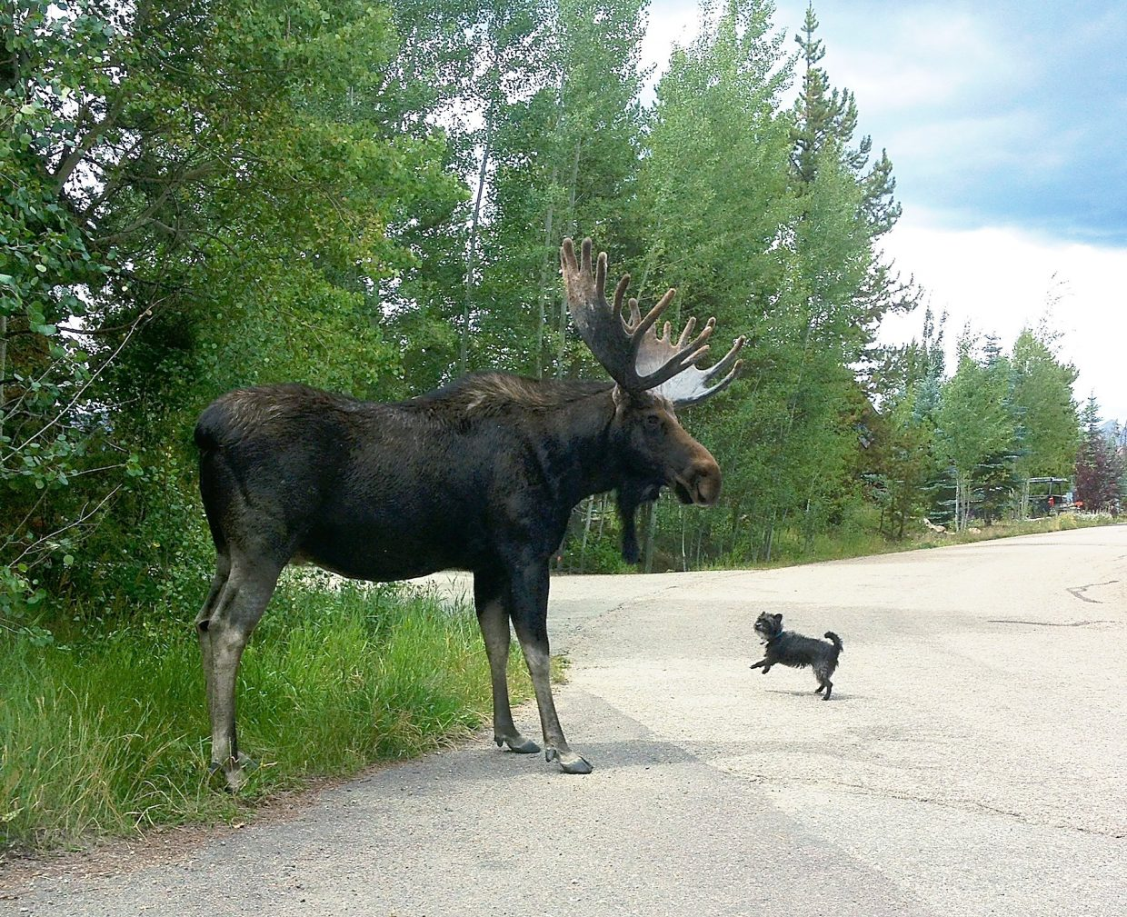 Wildlife officials: Moose, dogs don't mix | SkyHiNews.com