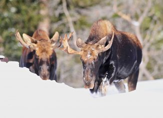 Moose encounters have been on the rise as deepening snow is forcing wildlife out of the woods and onto trails and roadways.