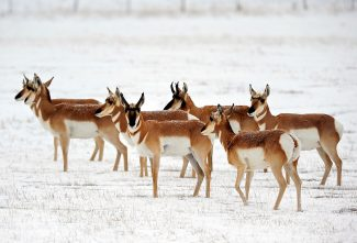 A herd of pronghorn antelope graze in a field near U.S. Highway 34 north of Granby on Wednesday, Oct. 30.