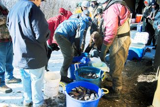 """As many as 350 Kokanee salmon were harvested and """"milked"""" by hatchery workers on Nov. 27, 2013. The bounty was divided between the 35 anglers and volunteers in attendance who possessed a valid Colorado-issued fishing license."""