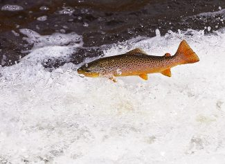 A brown trout attempts to swim upstream at the Shadow Mountain Reservoir spillway on Wednesday afternoon, Sept. 4.