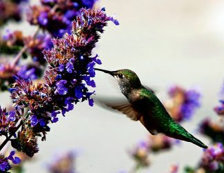A hummingbird searches for nectar among wildflowers in this file photo from 2009. Changes in the blooming patterns of local wildflowers could impact the symbiotic relationship between flowers and hummingbirds.