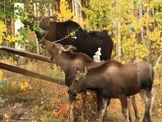 Reader submitted photo by Dee Abbott of a moose family near Homestead Hills on Tuesday Sept. 20.