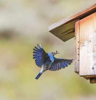 Mouthful of Mouth - A male mountian bluebird delivers a mouth for breakfast to the nest. Dillon, Colorado.