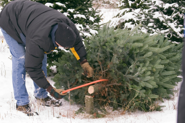 cut your own christmas tree where and how - Cut Your Own Christmas Tree