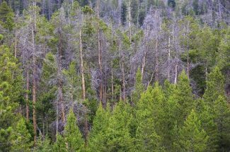 Spruce Beetle replaces Mountain Pine Beetle as biggest insect threat to Colorado forests