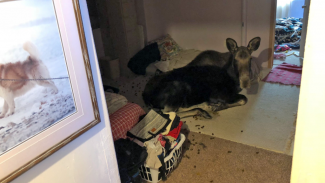 Moose crashes into basement in Breckenridge, safely relocated in Grand County