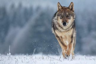 Federal government quietly establishes wolf conservation area that includes Grand County