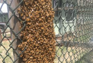 Let swarming bees lie, says local apiary owner
