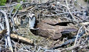 Watch Live: Grand Lake cam captures majestic ospreys waiting for chicks to hatch